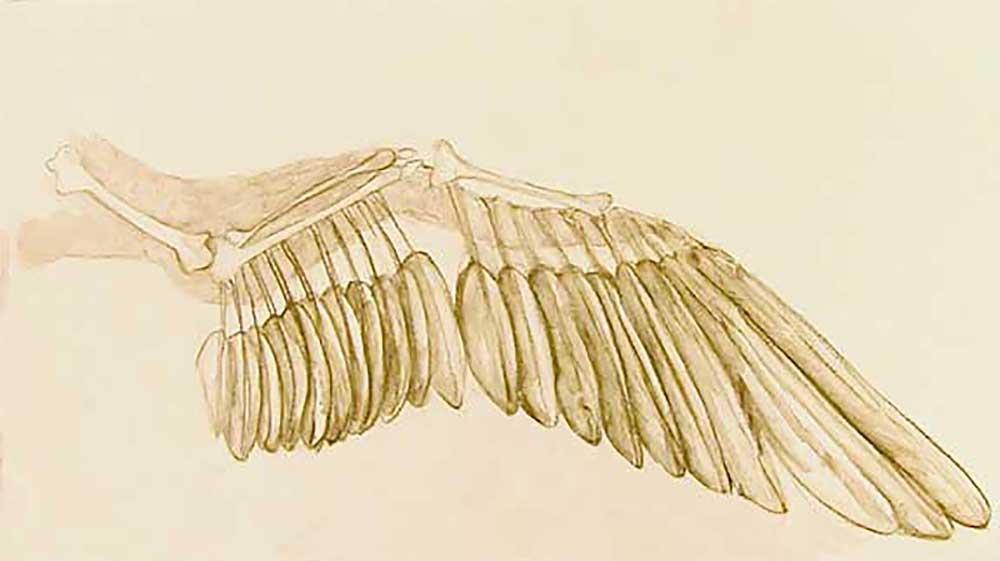 Wing Study by Janet Jaffke